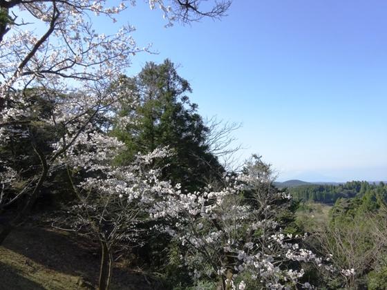 見晴らし台からの桜