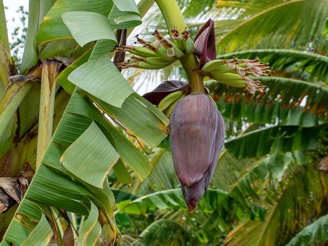脇の畑で栽培されているココナッツ