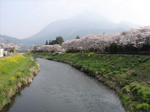 由布院の桜並木を散策